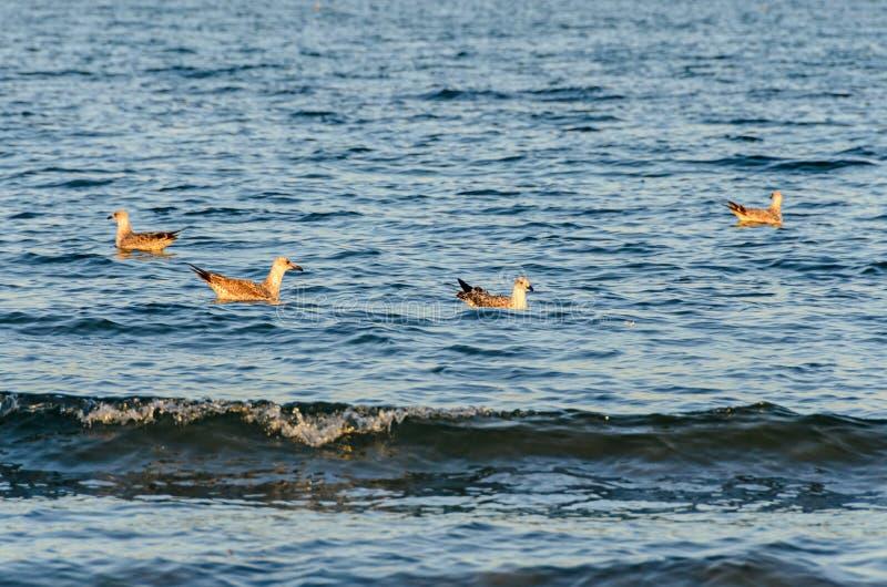 海鸥漂浮在蓝色海水的,色的羽毛,喙clos 免版税图库摄影
