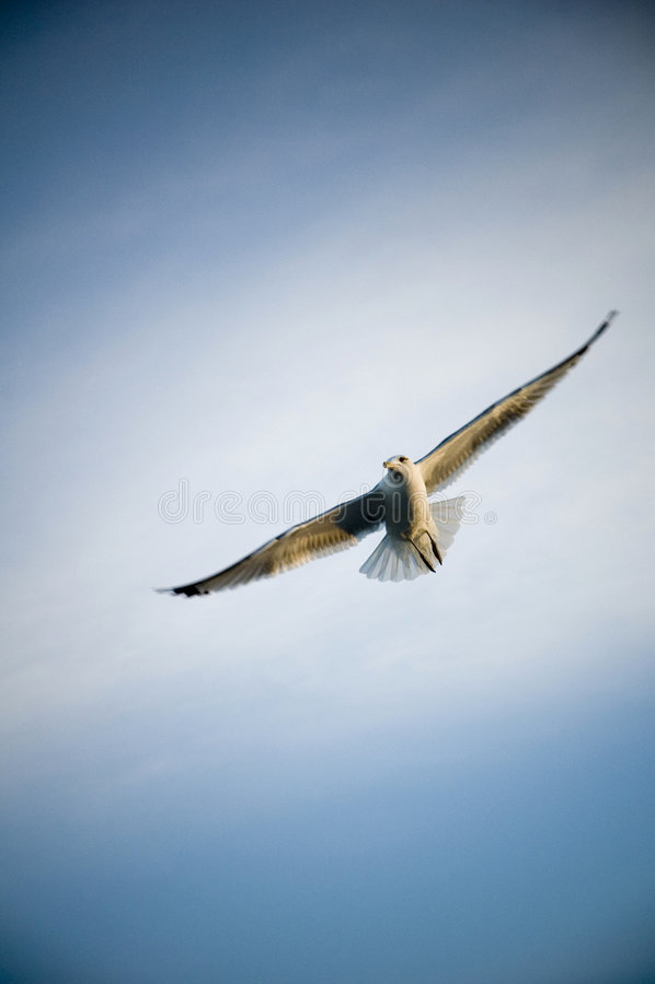 海鸥白色 免版税库存照片