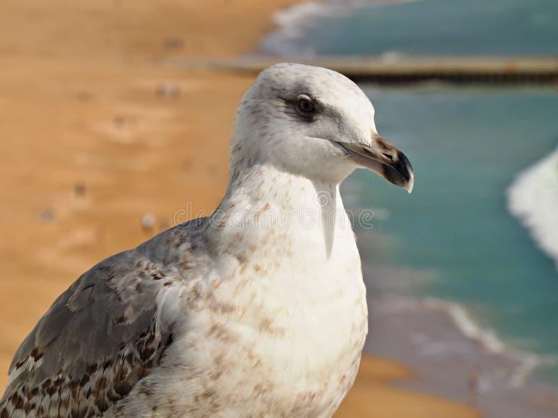 海鸥的头的宏指令 图库摄影