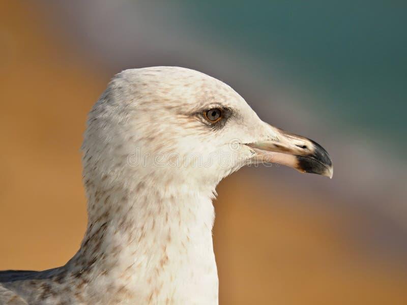 海鸥的头的宏指令 库存图片