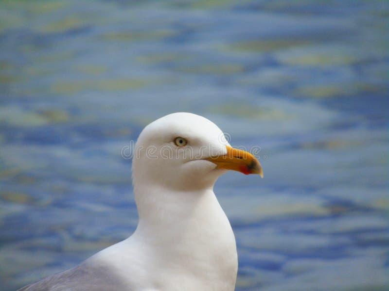 海鸥的画象坐海岸线 免版税库存图片