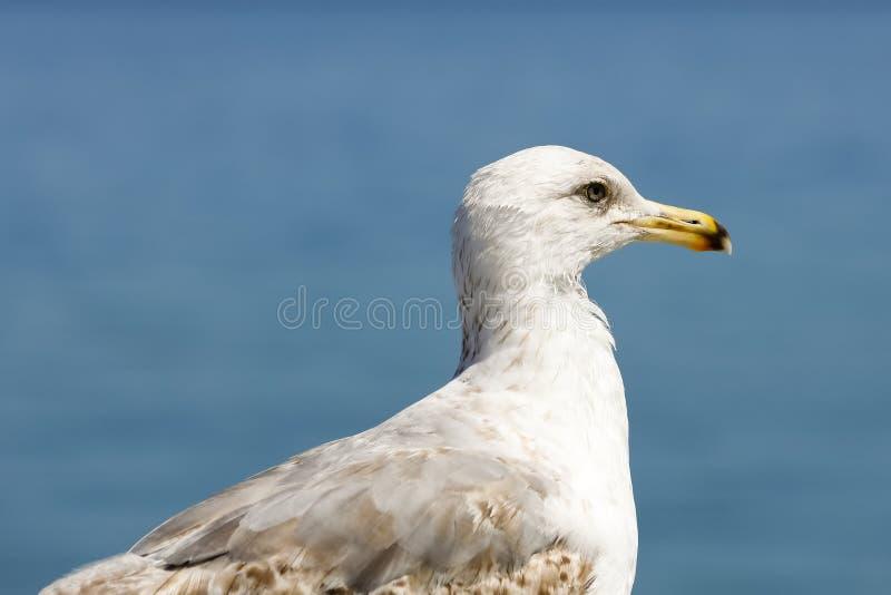 海鸥的画象观察区域 图库摄影