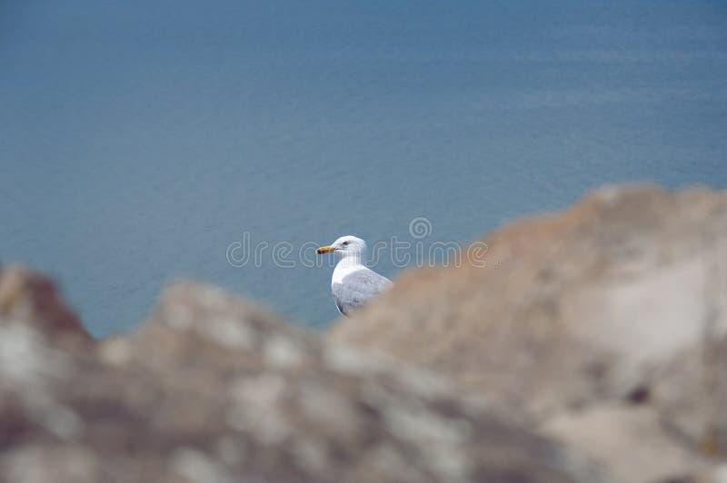 海鸥的纵向 最大的来源在整个高加索是塞凡湖 的臂章 免版税库存照片