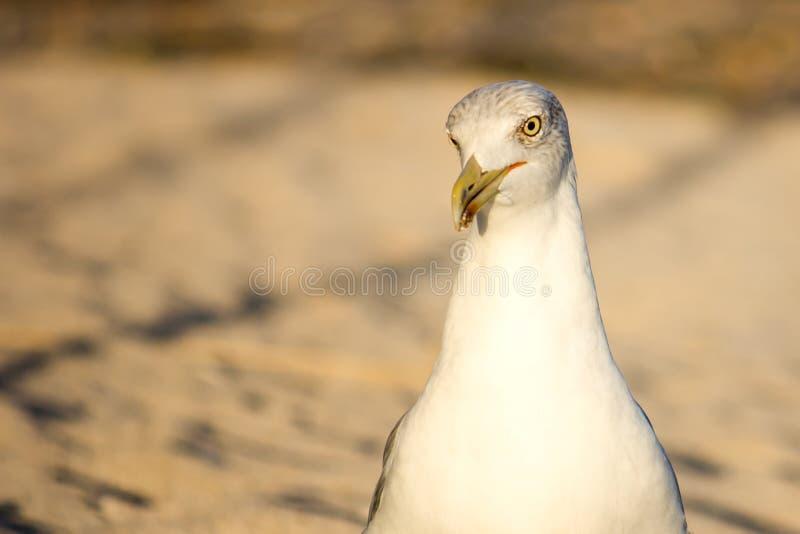 海鸥的纵向 图库摄影