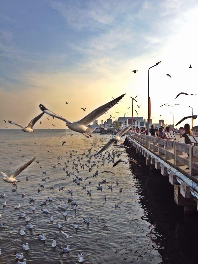 海鸥的移民 免版税库存照片