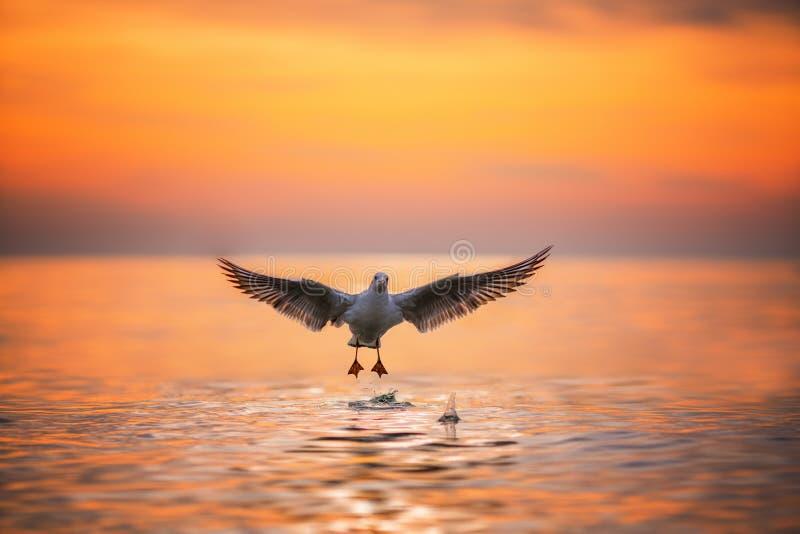 海鸥着陆在日出的海 库存照片
