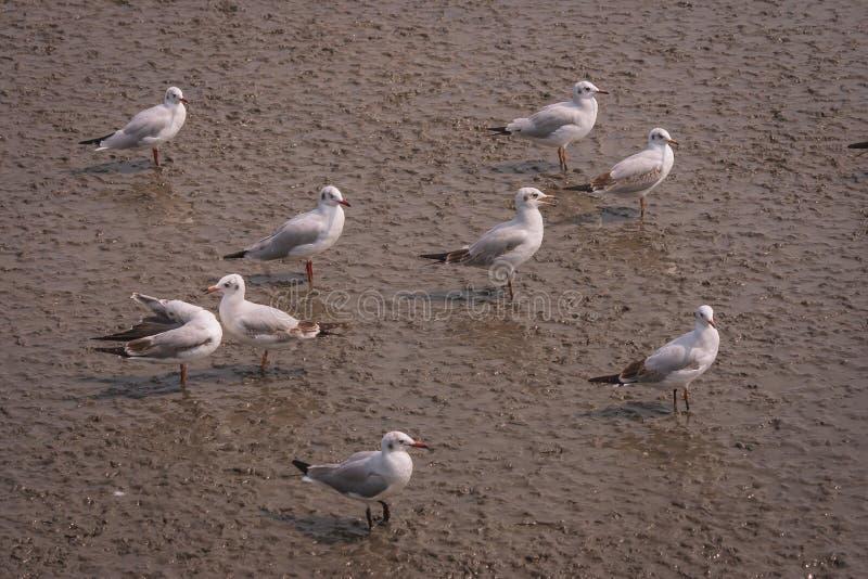 海鸥站立在美洲红树森林泥的鸟类迁徙群在Bangpu娱乐中心, Smutprakarn省 免版税库存图片