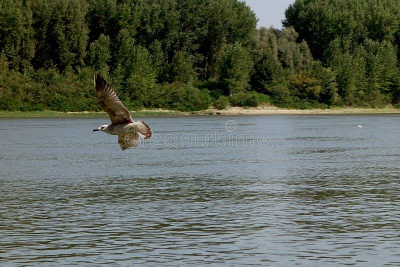 海鸥精力充沛的飞行在多瑙河2的一天 免版税库存照片
