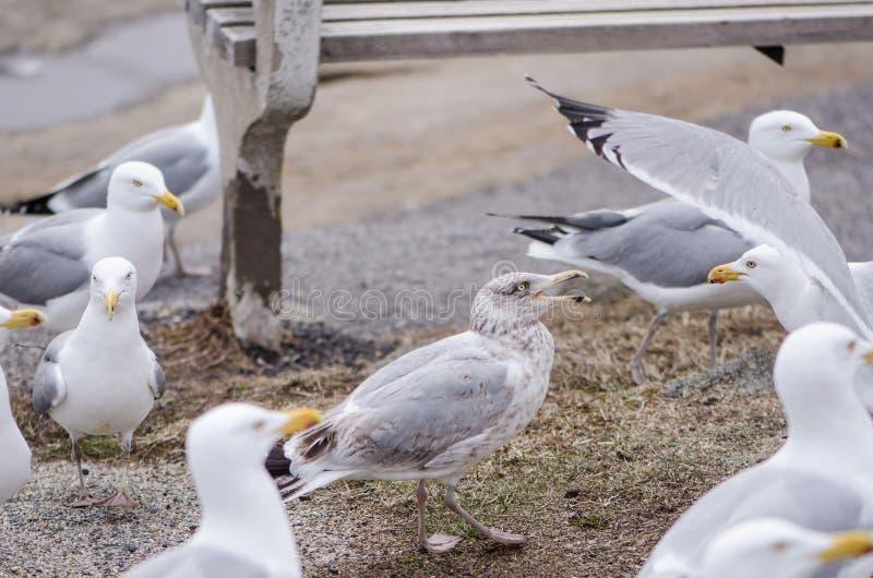 海鸥群战斗并且嘎嘎叫在食物在长凳下 免版税图库摄影