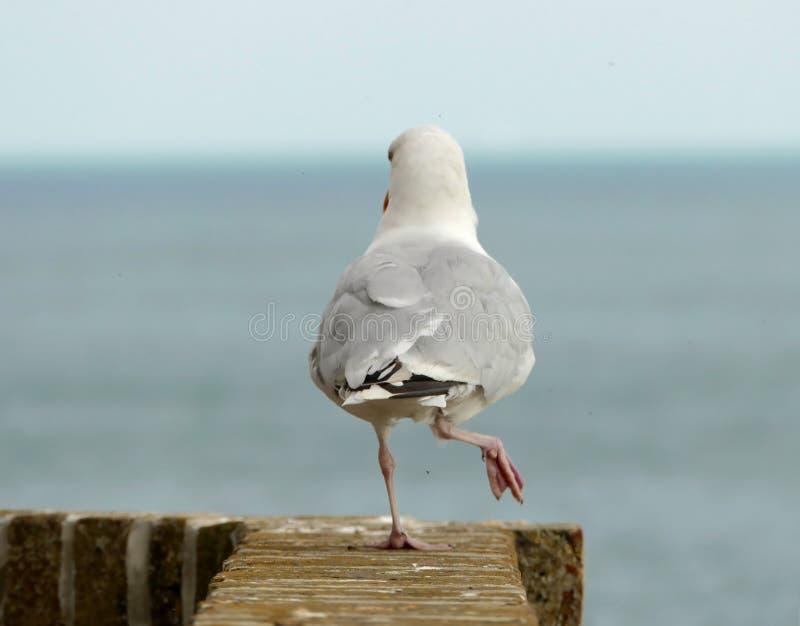 海鸥走 库存图片