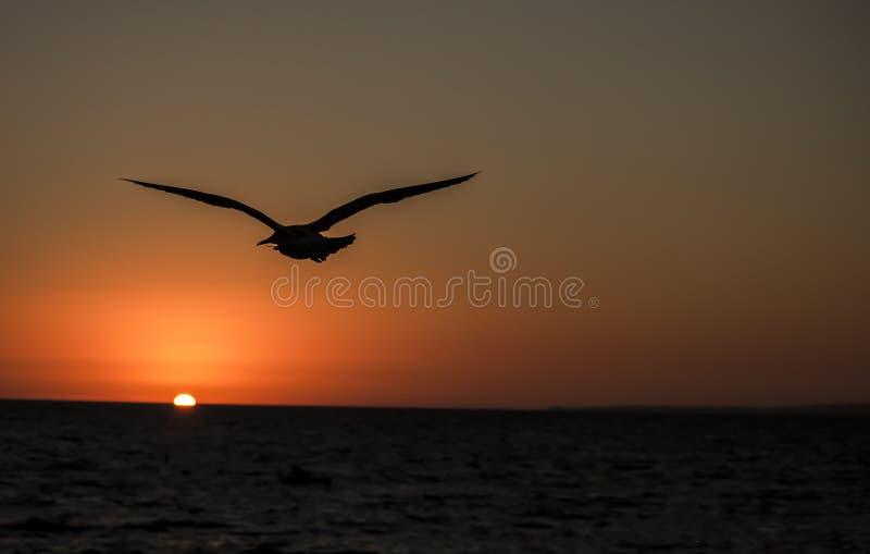海鸥飞行到日落里 免版税库存照片