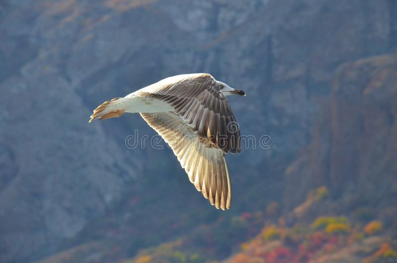海鸥飞行在黑海的,沿岩石岸 库存图片
