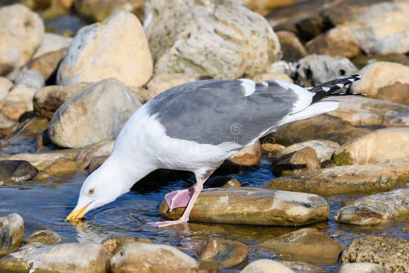 海鸥饮用水 免版税库存图片
