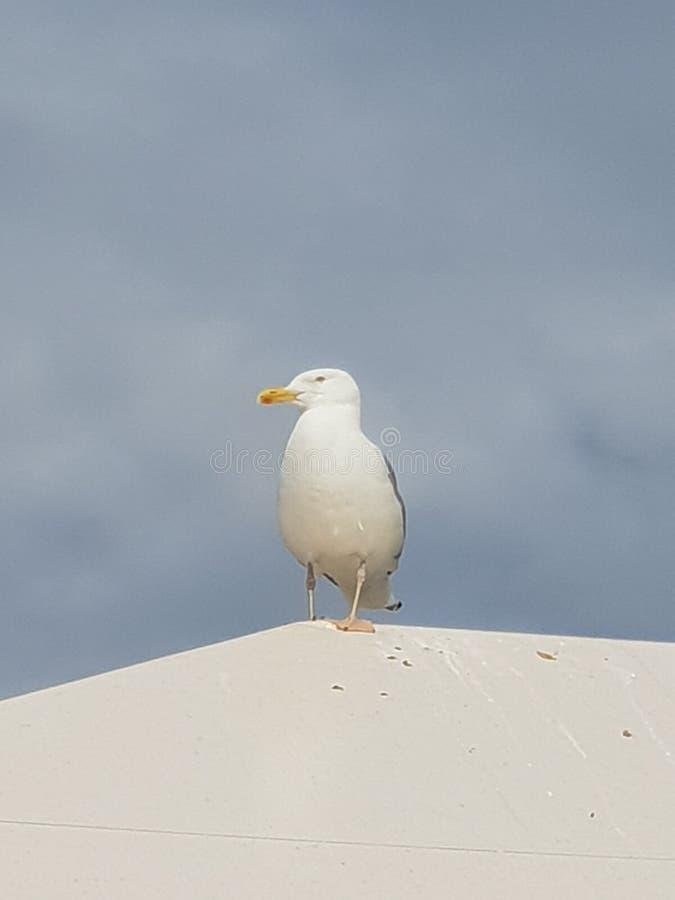 海鸥鸟画象 免版税图库摄影