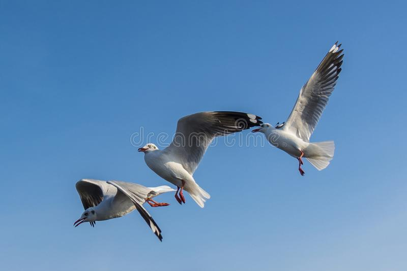 海鸥鸟的惊人的飞行行动在海岸的 库存图片