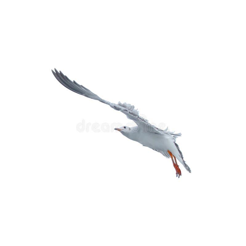海鸥,在天空的鸟飞行 库存图片