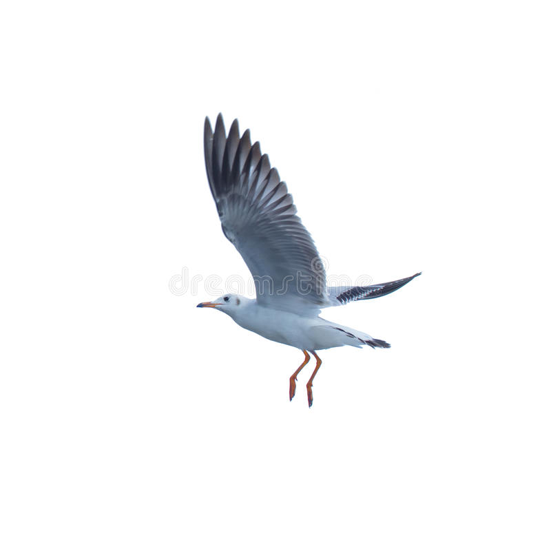 海鸥,在天空的鸟飞行 免版税库存照片