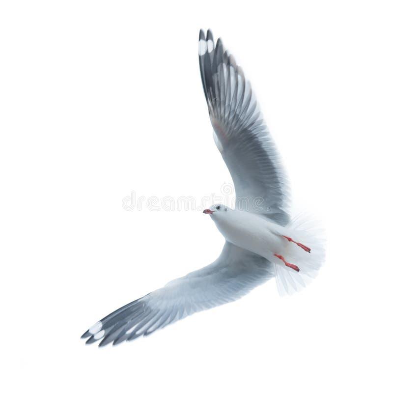 海鸥,在天空的鸟飞行 库存照片