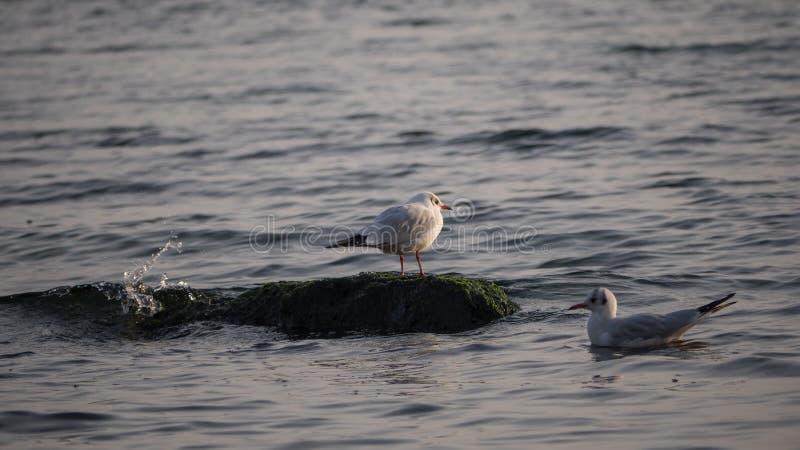 海鸥-一坐岩石,另一漂浮在水中在岸,黑海,Odesa附近 免版税库存图片