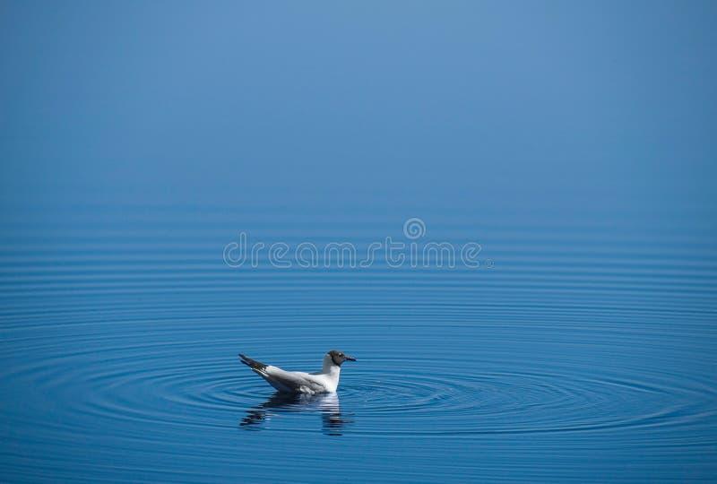 海鸥水 免版税图库摄影