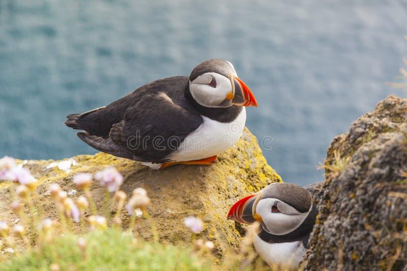 海鹦系列- Latrabjarg,冰岛。 免版税库存图片