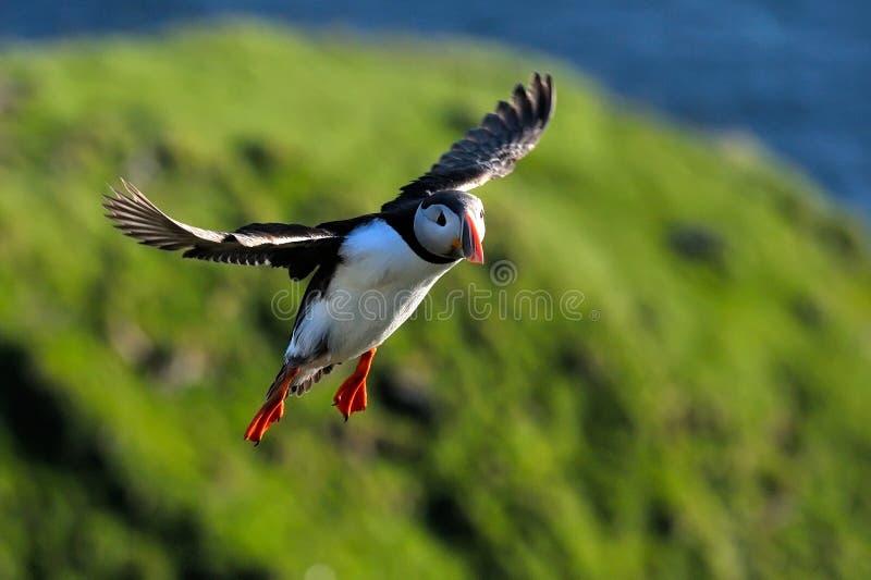 海鹦飞行(fratercula arctica) 免版税库存照片