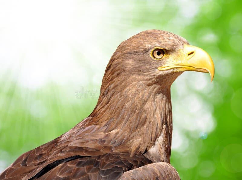 海鹰 免版税库存照片