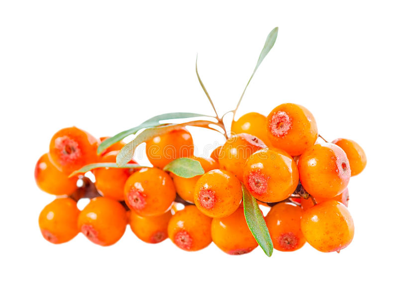 海鼠李莓果的美丽的丰盈枝杈被隔绝  免版税图库摄影