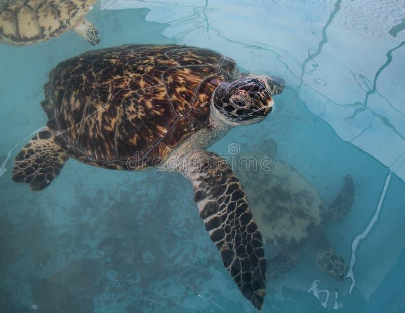 海龟、Chelonioidea & x28;Chelonioidea& x29;是包括海龟的乌龟总科 免版税库存图片