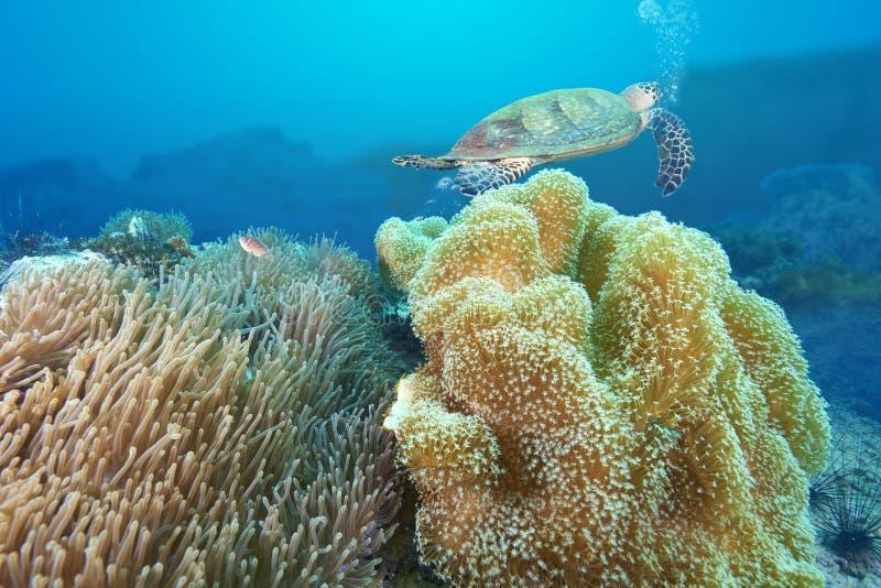 海龟和礁石珊瑚 免版税库存图片
