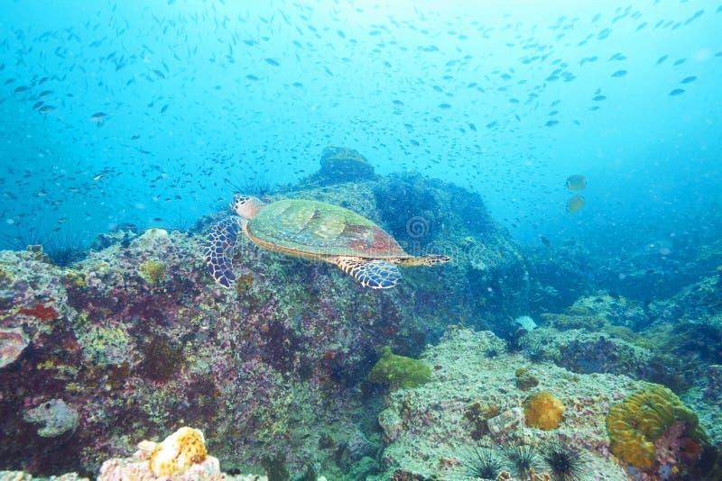 海龟和礁石珊瑚 库存图片