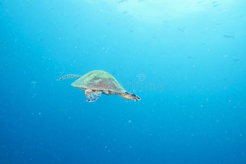 海龟和礁石珊瑚 免版税图库摄影