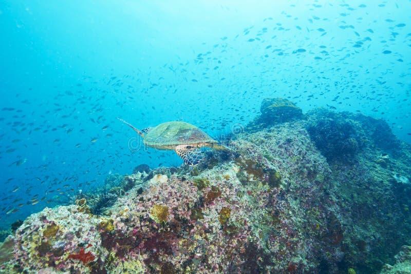 海龟和礁石珊瑚 免版税库存照片