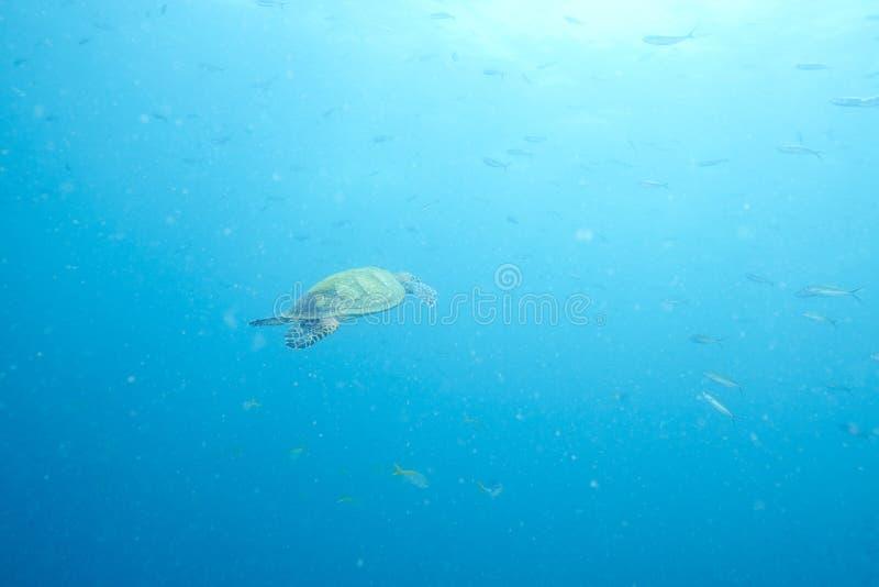 海龟和礁石珊瑚 库存照片