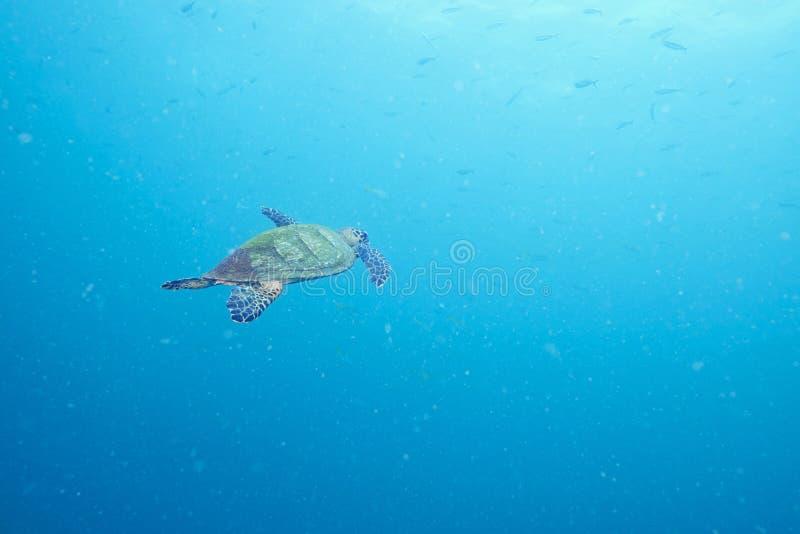 海龟和礁石珊瑚 图库摄影