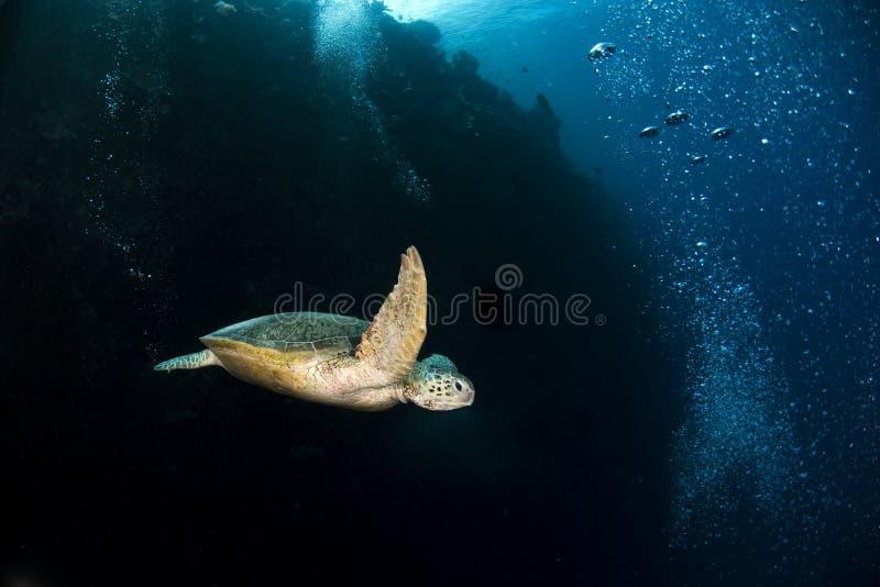 海龟属mydas在礁石的绿浪乌龟 免版税库存照片