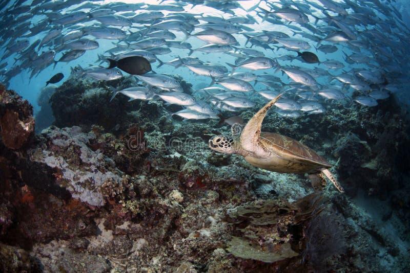 海龟属mydas在礁石的绿浪乌龟 库存图片