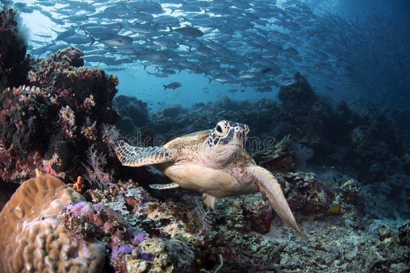 海龟属mydas在礁石的绿浪乌龟 库存照片