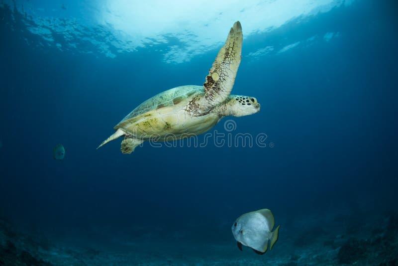海龟属mydas在礁石的绿浪乌龟 免版税图库摄影