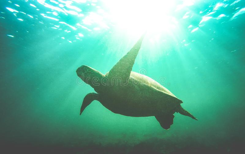海龟游泳水中剪影在加拉帕戈斯国立公园-兽性在游览的保护概念在 免版税库存照片