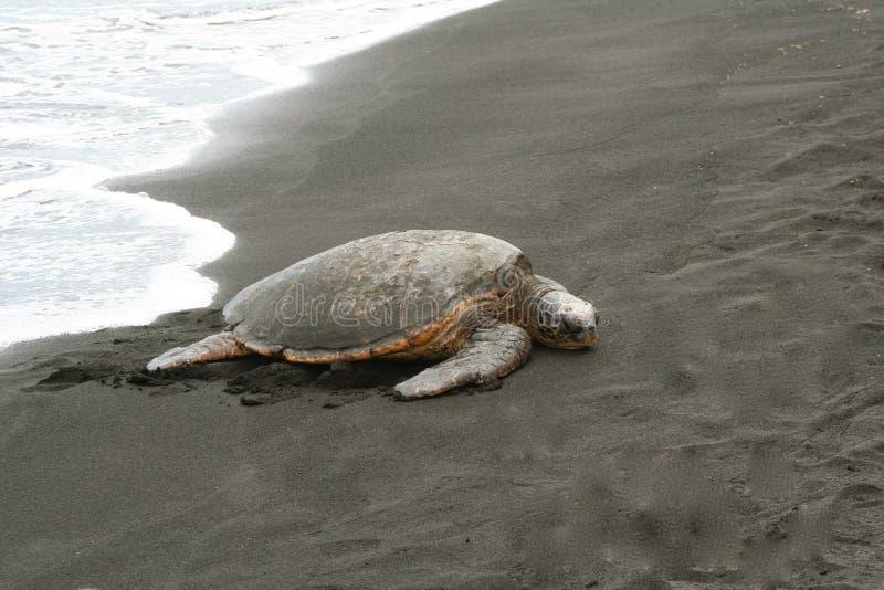 海龟黑色沙子 图库摄影