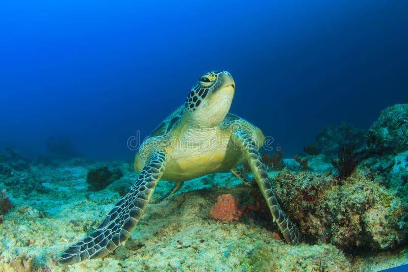 绿海龟 图库摄影