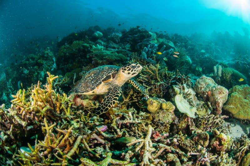 海龟kapoposang印度尼西亚mydas海龟属水下的佩戴水肺的潜水潜水者 库存照片
