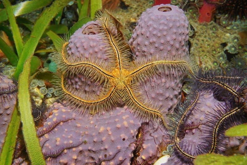 海洋在分支的管海绵的生物海蛇尾 库存照片