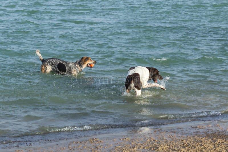 海滩在狗公园追逐使用在水中 库存图片