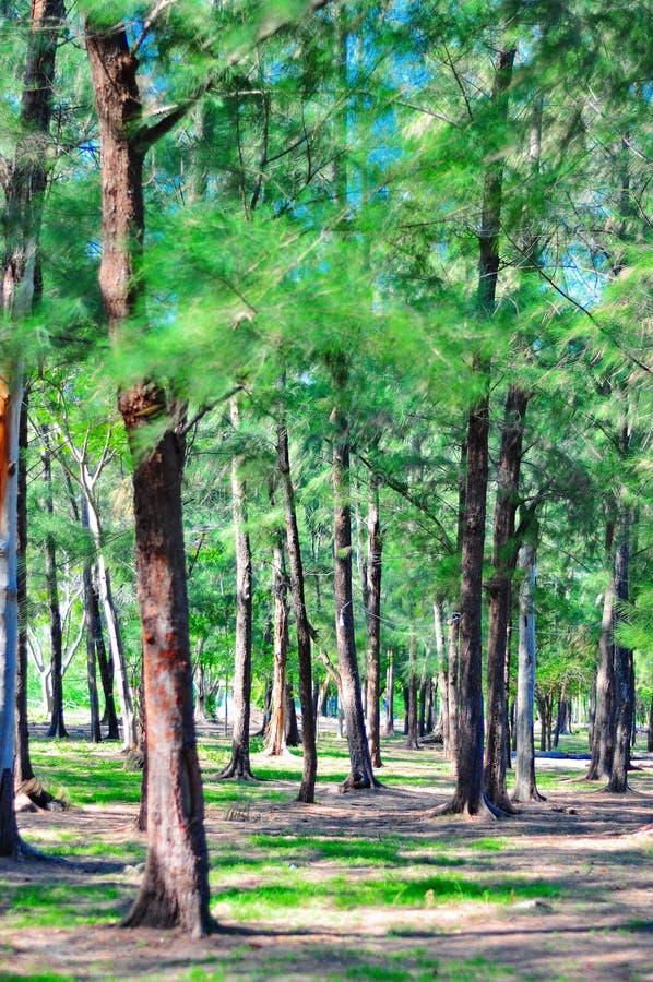 海滩杉木小组 库存图片