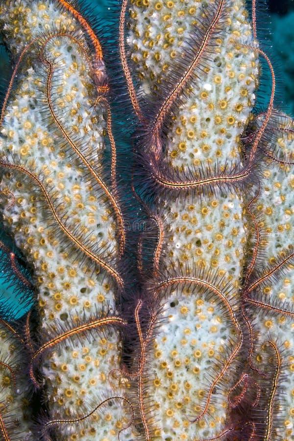 海绵海蛇尾 库存照片