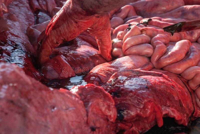 海洋生物学家解剖的鲸鱼 免版税库存照片