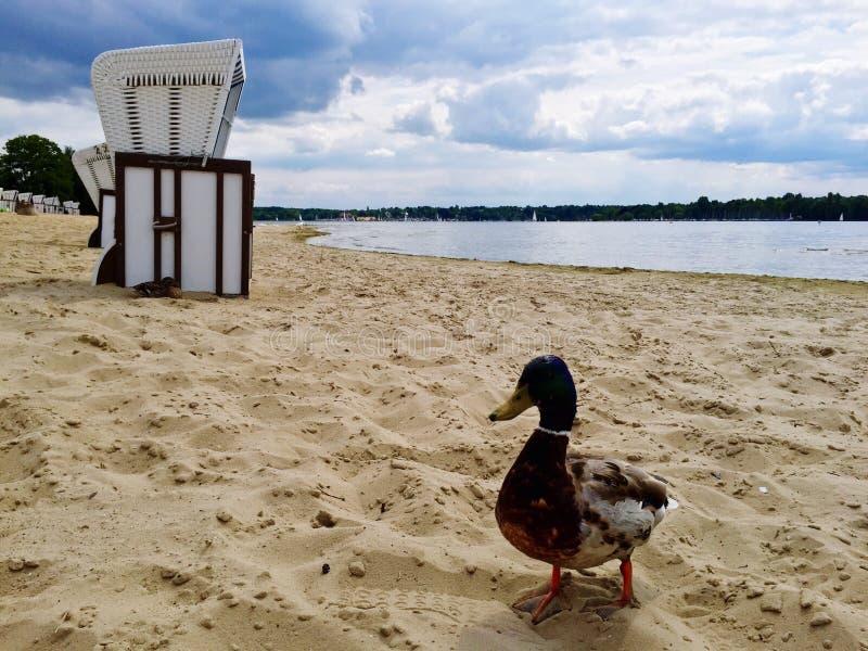海滩的德雷克 免版税库存图片