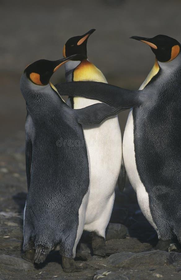 海滩的英国南乔治亚岛三企鹅国王举起了看法 库存照片